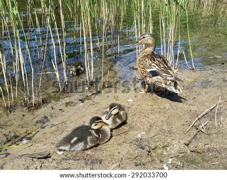Female Mallard duck (Anas platyrhynchos) and three ducklings by the lake - stock photo