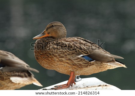 female mallard duck ( Anas platyrhynchos ) resting, side view - stock photo