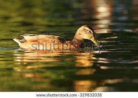 female mallard duck ( Anas platyrhynchos ) swimming on pond - stock photo