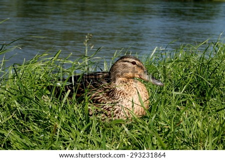 female mallard duck in the bushes on the banks of the river - stock photo
