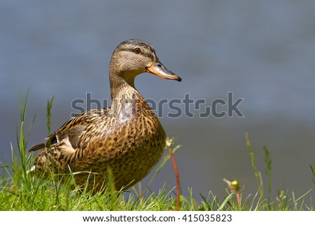 Female mallard duck portrait in grass