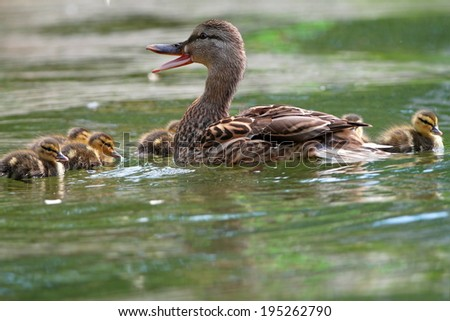 female mallard duck quacking ( anas platyrhtnchos ) with small cute ducklings on lake surface - stock photo