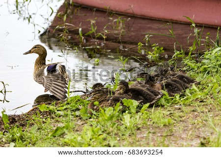 female mallard duck with ducklings on the bank, preparing to leave into the lake