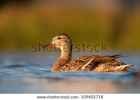 female Mallard swimming in lake, Anas platyrhynchos - stock photo