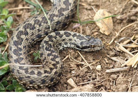 female meadow viper in natural habitat ( Vipera ursinii rakosiensis ) - stock photo