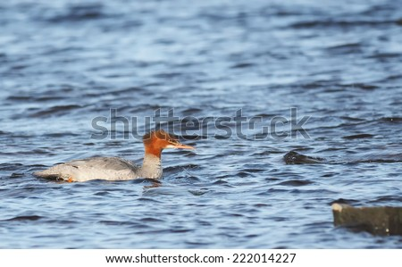 female merganser on the lake