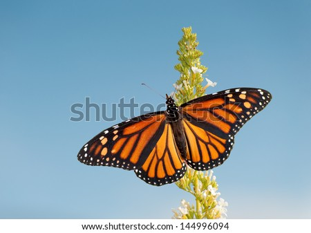 Female Monarch butterfly feeding on white flower cluster of a Butterfly bush, against blue sky - stock photo