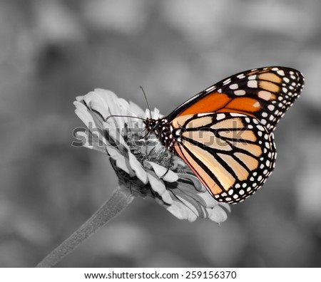 Female Monarch butterfly feeding on Zinnia flower, color spot on black and white - stock photo