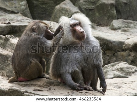 Female monkey grooms her mate