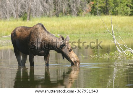 female Moose feeding in a pond in the Tetons