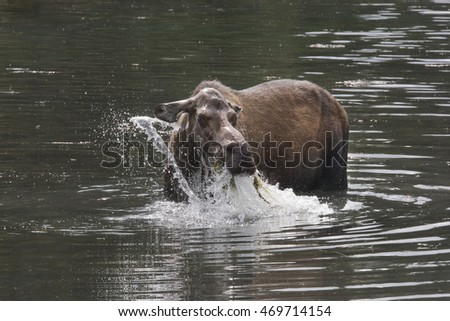 Female Moose in a pond munching on grass