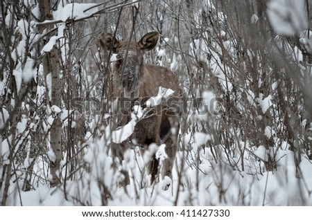 female moose standing in winter forest - stock photo