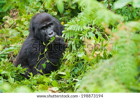 Female Mountain Gorilla Feeding in Natural Habitat - stock photo