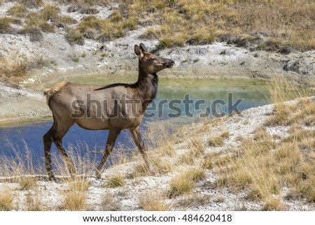 Female mule deer (Odocoileus hemionus) near a thermal spring, Yellowstone National Park, Wyoming, USA