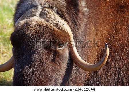 Female musk ox, Ovibos moschatus, closeup portrait - stock photo