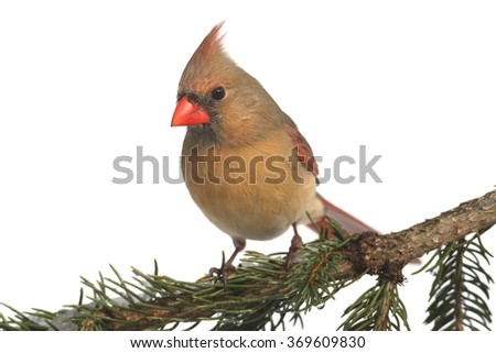 Female Northern Cardinal (cardinalis cardinalis) in a snowy scene - stock photo