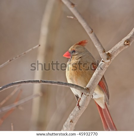 Female northern cardinal (Cardinalis cardinalis) perched on a tree branch