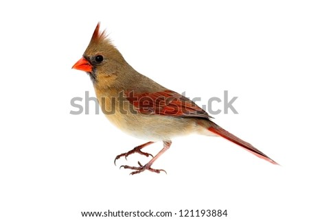 Female Northern Cardinal (Cardinalis) - Isolated on a white background