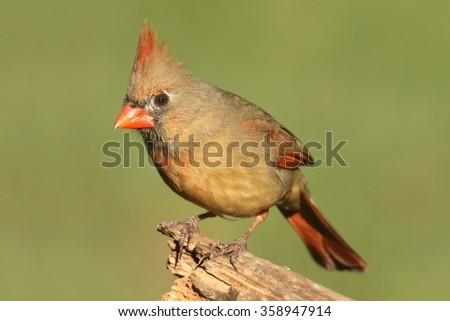 Female Northern Cardinal (cardinalis) on a branch - stock photo