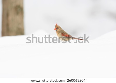 Female northern cardinal in the snow following a winter storm. - stock photo