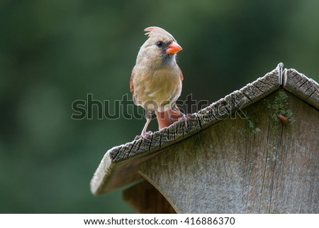 Female northern cardinal on a bird house roof - stock photo
