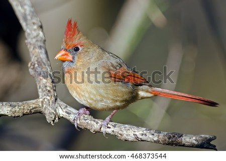 Female Northern Cardinal on Tree Branch