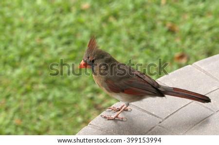 Female Northern Cardinal on vacation in Kawaii, Hawaii - stock photo