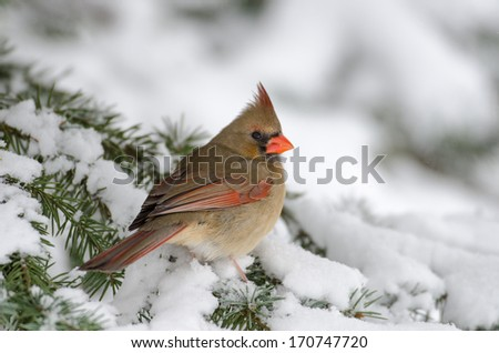 Female Northern cardinal perched in a tree following a heavy winter snowstorm