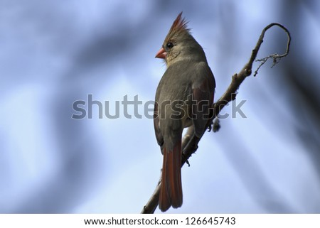 Female Northern Cardinal perched on a branch.