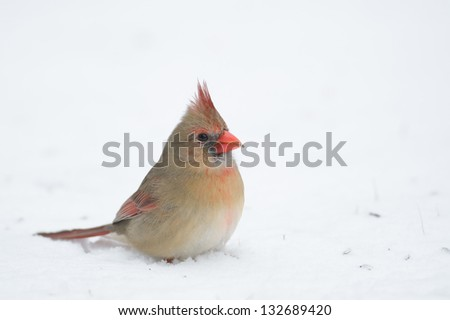 Female Northern cardinal sitting in the snow following a heavy winter snowstorm - stock photo