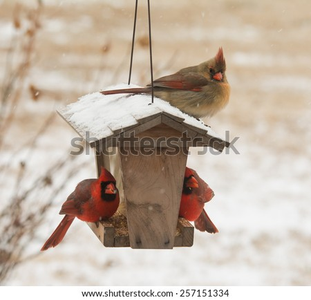 Female Northern Cardinal sitting on top of a bird feeder in snowfall, with two males below her eating seeds - stock photo