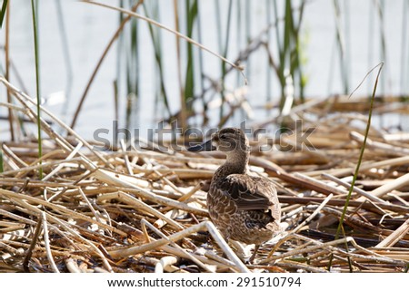 Female Northern Pintail in the marsh at Alamosa National Wildlife Refuge in Colorado - stock photo