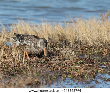 Female Northern Shoveler Duck at Bosque del Apache National Wildlife Refuge, San Antonio, New Mexico - stock photo