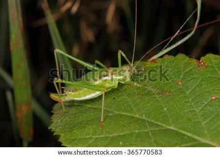 Female of a speckled bush-cricket (Leptophyes punctatissima) on a leaf