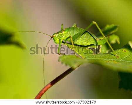 Female of a speckled bush-cricket (Leptophyes punctatissima) walking a leaf