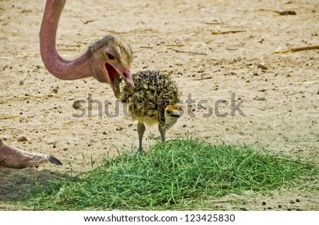 Female of African ostrich (Struthio camelus) with a young chick in Israeli nature reserve park, 35 km north of Eilat