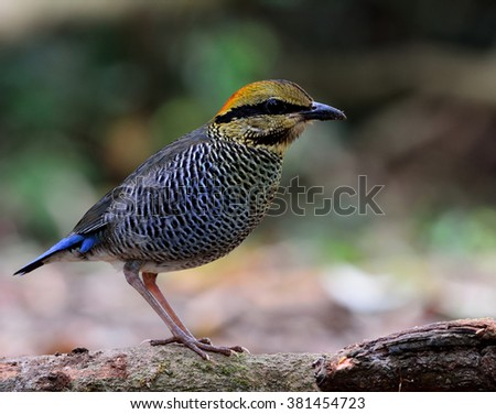 Female of Blue Pitta (Hydrornis cyaneus) the beautiful blue and grey bird standing on mossy grass with blur background