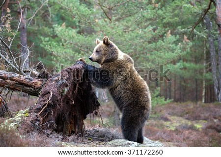 female of brown bear (Ursus arctos) in winter forest, lokking for food, Europe, Czech republic - stock photo