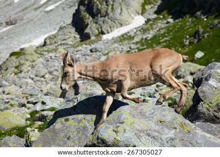 Female of Caucasus tur running through stones
