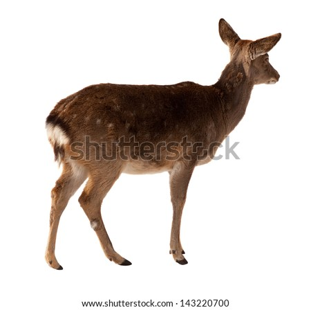 Female of  David's Deer. Isolated over white  background