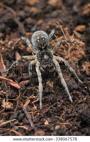 Female of Geolycosa vultuosa wolf spider. - stock photo