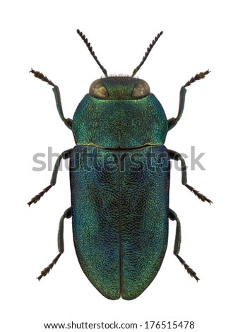 Female of jewel beetle Anthaxia kochi isolated on white background