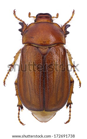 Female of june beetle (Amphimallon vernale) isolated on white background. - stock photo