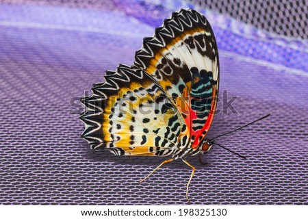 Female of Leopard lacewing butterfly resting on net - stock photo
