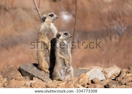 female of meerkat or suricate watching out for danger - stock photo