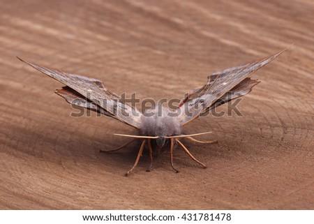 Female of Poplar hawk-moth (Laothoe populi) on wood - stock photo