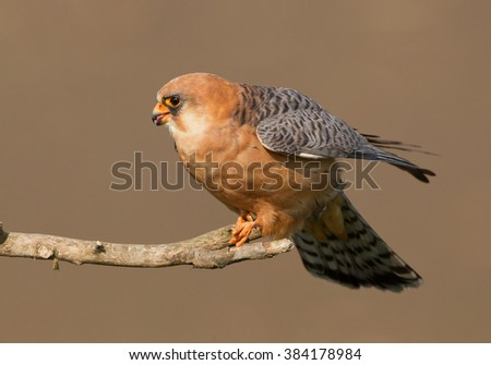Female of red footed falcon sitting on the branch, clean background, Hungary, Europe