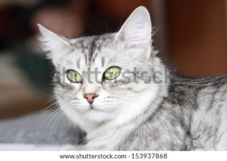 female of siberian cat, silver
