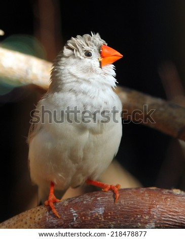 Female of Zebra finch (Taeniopygia guttata)