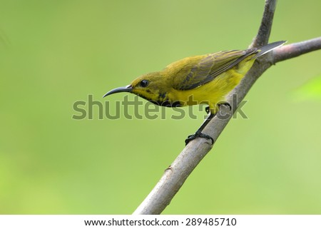 Female Olive Backed Sunbird perching on branch - stock photo
